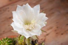 Cactus flower#5 Imagen de archivo libre de regalías