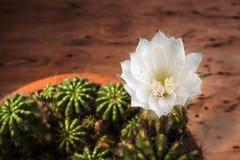 Cactus flower#4 Imagenes de archivo