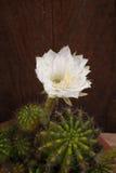Cactus flower#2 Imagen de archivo