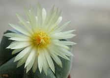 Cactus flower : Astrophytum myriostigma 3 ribs. Astrophytum myriostigma 3 ribs in bloom Stock Photo
