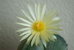 Cactus flower : Astrophytum myriostigma 3 ribs Stock Photo
