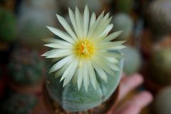 Cactus flower : Astrophytum myriostigma 3 ribs Stock Photos