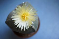 Cactus flower : Astrophytum myriostigma 3 ribs. Astrophytum myriostigma in bloom Stock Photography