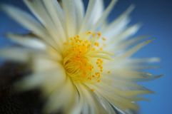 Cactus flower : Astrophytum myriostigma 3 ribs. Astrophytum myriostigma in bloom Royalty Free Stock Images