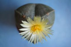 Cactus flower : Astrophytum myriostigma 3 ribs. Astrophytum myriostigma in bloom stock image