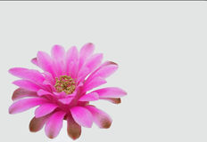 Cactus flower Royalty Free Stock Images