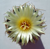 Cactus flower with beautiful luster. Royalty Free Stock Photo