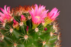 Cactus in flower Stock Image