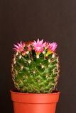 Cactus in flower Royalty Free Stock Image