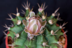 Cactus flower Stock Images