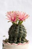 Cactus flower bloom stock photo