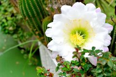cactus flower blooming Stock Image