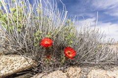 Cactus flower blooms Stock Photos
