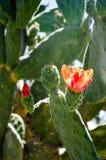 Cactus flower. Botanical garden on Canary Islands Royalty Free Stock Photo