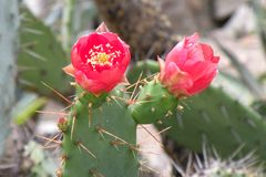 Cactus flower in Botanical garden in Cluj-Napoca Royalty Free Stock Image