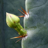 Cactus Flower Bud. Close-up View of Cactus Flower Bud Stock Photo