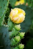 Cactus With Flower and Buds Stock Photography