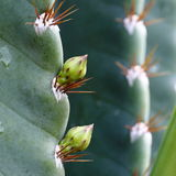 Cactus Flower Buds Stock Photography