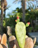 Cactus with flower buds Stock Photo