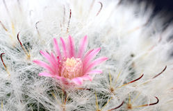 Cactus Flower , Cactus, Nature, Plant, Royalty Free Stock Photography