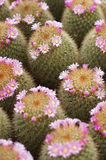 Cactus and flower cactus Royalty Free Stock Photos