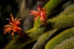 Cactus flower (cleistocactus winteri). Bolivian Cleistocactus winteri cactus and red cactus flower Royalty Free Stock Image