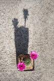 Cactus flower. Close up of cactus flower,Lobivia stock images
