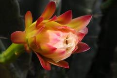 Cactus Flower Closeup Royalty Free Stock Photos