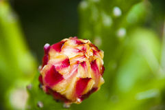 Cactus flower. Closeup of colorful flower on a cactus plant Royalty Free Stock Photos