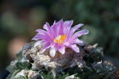 Cactus flower. Clouse-Up beautiful Cactus flower Stock Photo