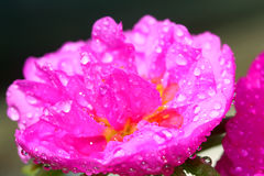 Cactus Flower Drenched in Water. Deep Pink Cactus Flower Drenched in Water Royalty Free Stock Photos