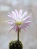 Cactus flower echinopsis. Single cactus flower echinopsis hybrid Stock Image