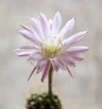 Cactus flower echinopsis. One cactus flower echinopsis hybrid Royalty Free Stock Photos