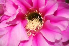 Cactus flower: echinopsys Royalty Free Stock Image