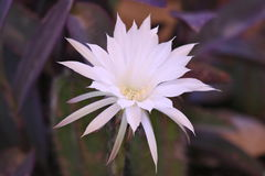 Cactus flower. This cactus flower is ephemeral and last only for some 15 hours Royalty Free Stock Image