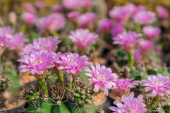 Cactus flower field Royalty Free Stock Photos