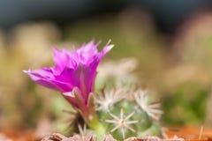 Cactus flower. S blooming purple morning Stock Image