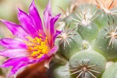 Cactus flower. S blooming purple morning Stock Photos