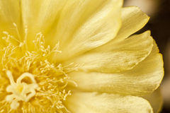 Cactus flower with frayed edged leaves Royalty Free Stock Photos