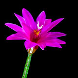 Cactus Flower Glow Stock Photography