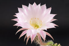 Cactus flower growing from a small cactus Stock Photo