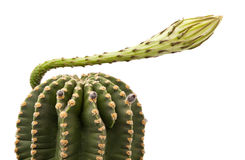 Cactus with flower isolated Royalty Free Stock Photo
