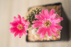Cactus flower,Lobivia. Close up of pink cactus flower,Lobivia Stock Photo