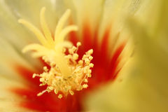 Cactus flower Stock Photography