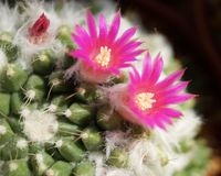 Cactus flower : Mammillaria bucareliensis Stock Photo