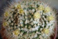 Cactus flower : Mammillaria karwinskiana. Mammillaria karwinskiana in bloom stock images