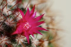 Cactus flower : Mammillaria rhodantha Stock Photos