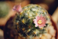 Cactus flower : Mammillaria schiedeana. Mammillaria schiedeana in bloom Stock Photography