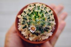 Cactus flower : Mammillaria schiedeana. Mammillaria schiedeana in bloom royalty free stock image