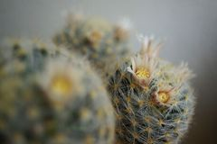 Cactus flower : Mammillaria schiedeana. Mammillaria schiedeana in bloom Royalty Free Stock Photos